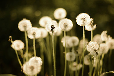 Close up of dandelion. - p1166m2088026 by Cavan Images