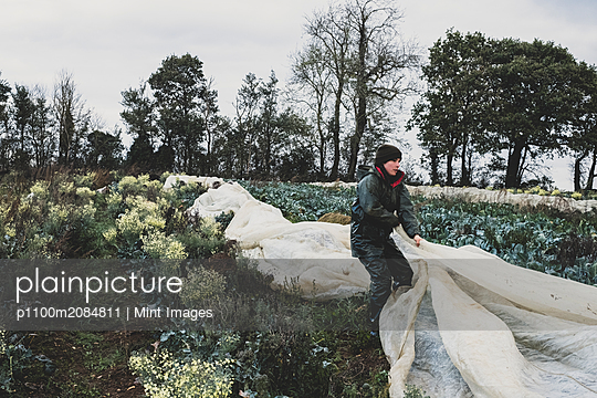 Woman standing in field, removing protective netting from vegetables. - p1100m2084811 by Mint Images