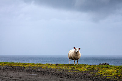 Single sheep at the seaside - p1168m1525814 by Thomas Günther