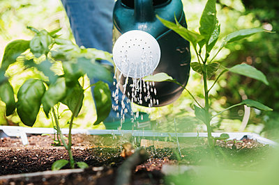 Woman watering plants in vegetable garden - p1427m2292062 by Jamie Atlas