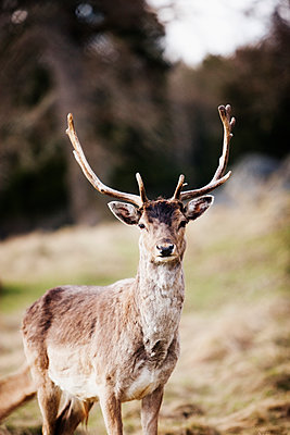 Sweden, Smaland, Sundsholm, Stag looking at camera - p352m1079084f by John Sandlund