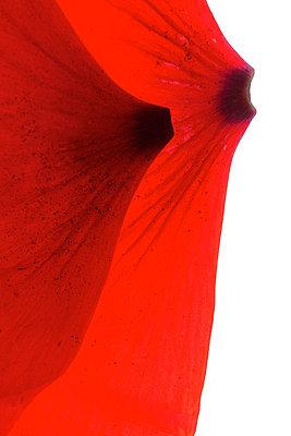 Petals in studio - p4010614 by Frank Baquet