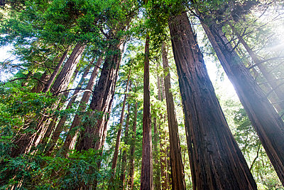 Sequoia, Kalifornien - p756m1158668 von Bénédicte Lassalle