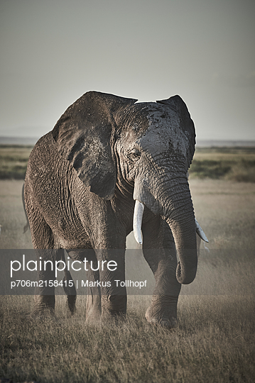 Portrait of single elephant, Kenya - p706m2158415 by Markus Tollhopf