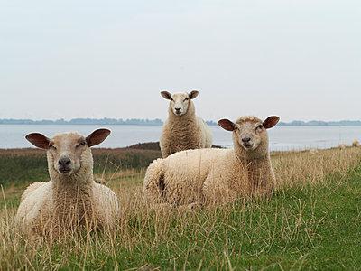 Drei Schafe - p340m1074144 von Thomas Reutter