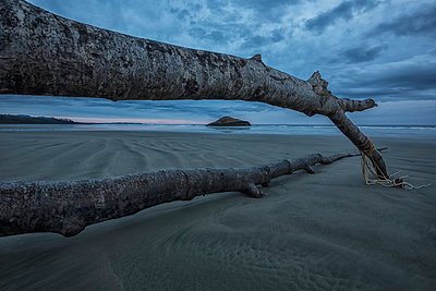 Large fallen tree framing the island and beach at long beach pacific rim national park;British columbia canada - p442m804915f by Robert Postma