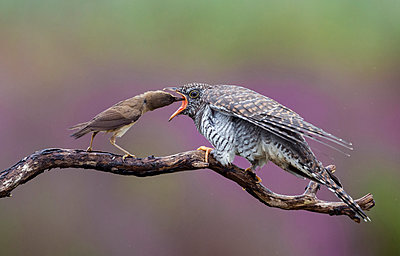 Eurasian Reed-Warbler feeding parasitic Common Cuckoo chick, Amsterdam, Noord-Holland, Netherlands - p884m1135754 by Franka Slothouber
