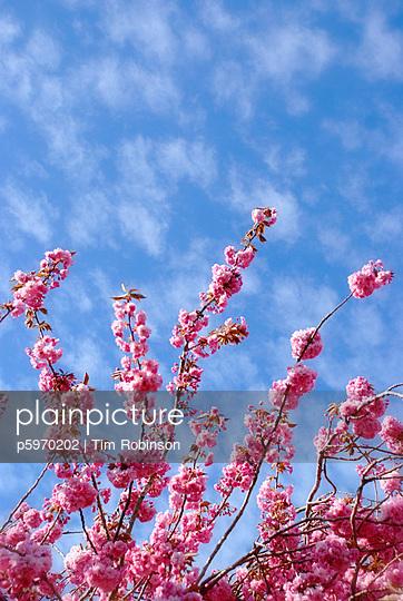Cherry blossoms - p5970202 von Tim Robinson