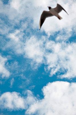 Seagull in flight - p4320473 by mia takahara