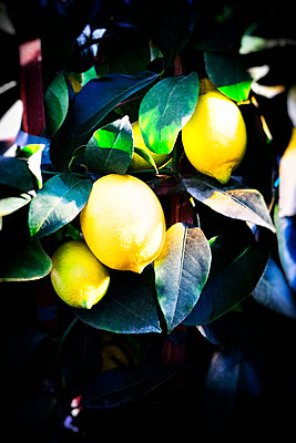 Lemon tree - p1149m1525726 by Yvonne Röder