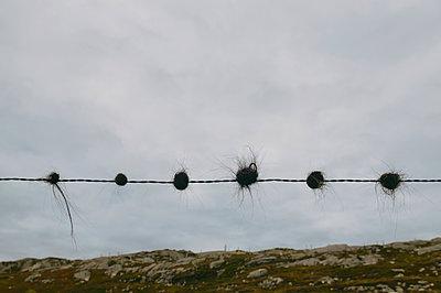 Schafshaar auf einem Stacheldraht - p470m2108843 von Ingrid Michel