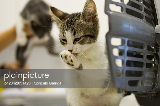 Kitten licking paw outside cage - p429m2091429 by Gonçalo Barriga