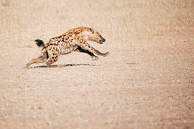 Spotted Hyena - p1065m982683 by KNSY Bande