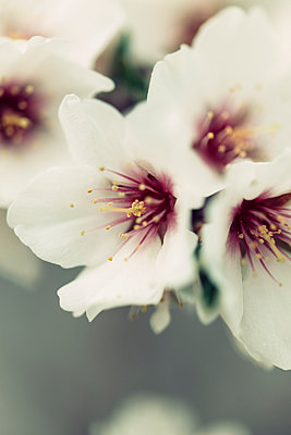Detail of a almond flower - p300m1023019f by Javier Pardina