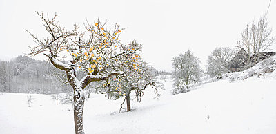 Winter apple trees on snowy landscape - p30120534f by Sven Hagolani