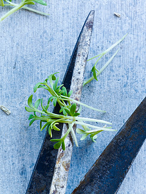Scissors and cut herbs, close-up - p312m1113880f by Sara Danielsson