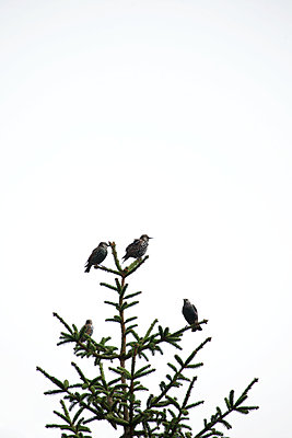 Starlings on a treetop of a spruce - p533m2044336 by Böhm Monika