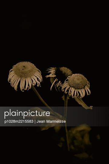 Asteraceae (Inula genus) - p1028m2215583 von Jean Marmeisse