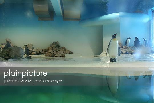 Penguins, Munich Zoo Hellabrunn - p1590m2230313 by marion blomeyer