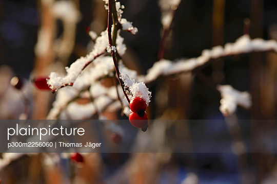 Berries on frosted tree branches in winter - p300m2256060 by Thomas Jäger