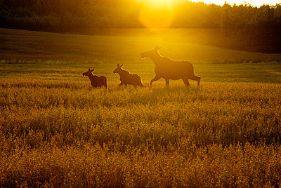 Cow elk and calves Sweden. - p5750277 by Kenneth Bengtsson
