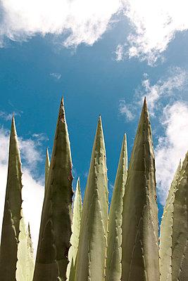 Agave plant - p301m799549f by Sven Hagolani