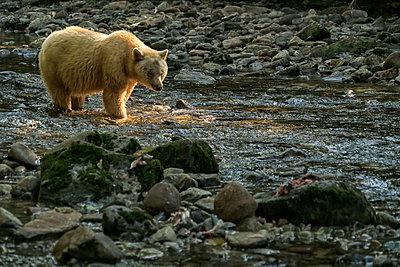 Spirit Bear, or Kermode Bear, (Ursus americanus kermodei) walking in a stream in the Great Bear Rainforest; Hartley Bay, British Columbia, Canada - p442m2008894 by Robert Postma