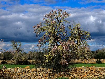 Almond flower - p885m1087427 by Oliver Brenneisen