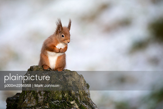 Cute red squirrel sitting on branch - p300m2256958 by Mark Johnson