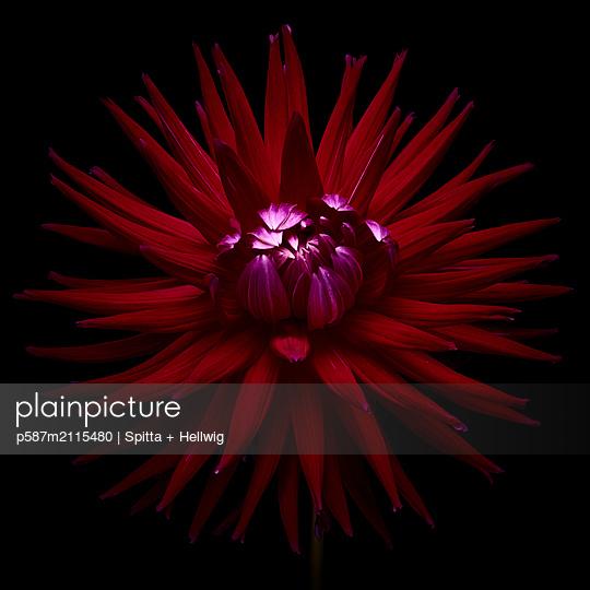 Dahlia blossom in dark red shades - p587m2115480 by Spitta + Hellwig