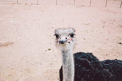 Ostrich close-up - p1085m1426004 by David Carreno Hansen