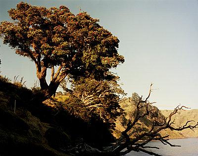 New Zealand Christmas Tree - p1016m792585 von Jochen Knobloch