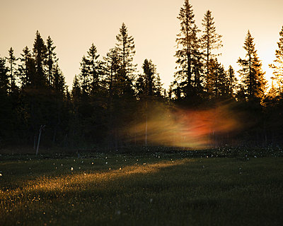 Pine trees at sunset in Koppgangen Nature Reserve, Sweden - p352m2120458 by Gustaf Emanuelsson