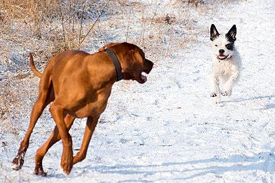 Hunde spielen im Schnee - p739m1118940 von Baertels