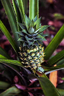 Ananas - p1038m889983 von BlueHouseProject