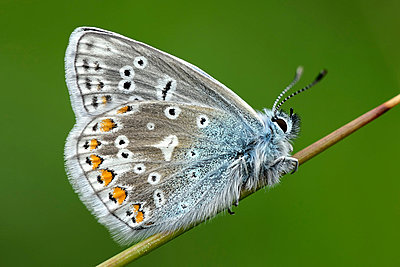 England, Common Blue, Polyommatus Icarus - p300m981856f by Mark Johnson