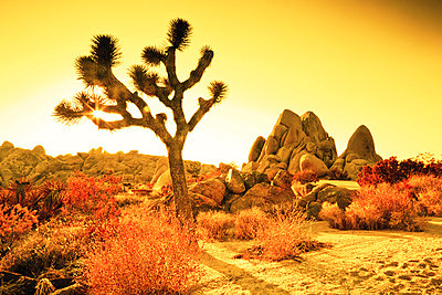 Joshua Tree Nationalpark;  Kalifornien;  USA - p3300262 von Harald Braun