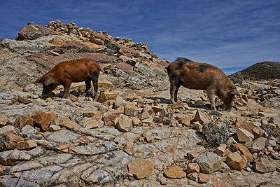 Zwei Schweine in der Landschaft - p390m1190319 von Frank Herfort