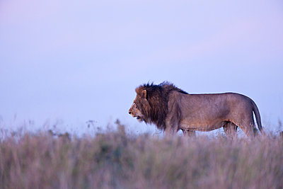 Walking male Lion - p533m1451904 by Böhm Monika