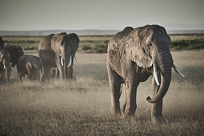 Group of elephants on the move, Kenya - p706m2158435 by Markus Tollhopf
