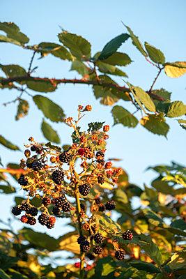 Wild blackberries - p739m2007934 by Baertels