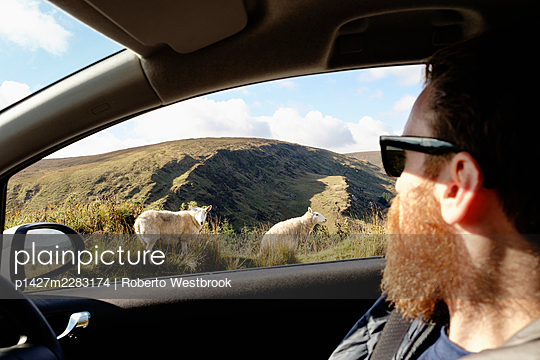 Mid adult man looking at sheep through car window - p1427m2283174 by Roberto Westbrook