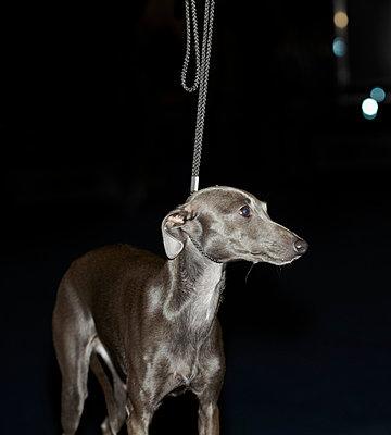 Dog Show - Greyhound - p250m808701 by Christian Diehl