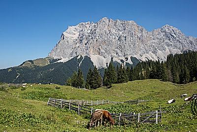 Weide mit Kühen vor Zugspitze - p524m1119223 von PM