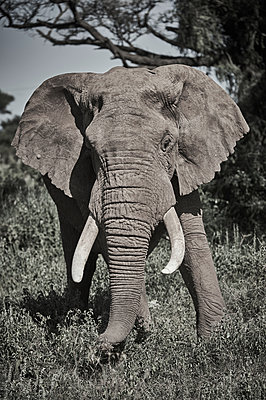 Portrait of single elephant, Kenya - p706m2158430 by Markus Tollhopf