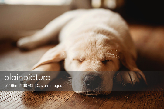 sleeping Labrador puppy - p1166m2130743 by Cavan Images