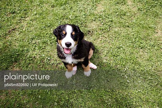 Young Bernese mountain dog - p545m822692 by Ulf Philipowski