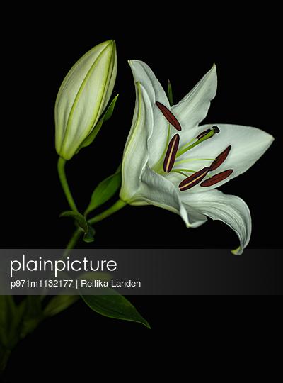 White lily - p971m1132177 by Reilika Landen
