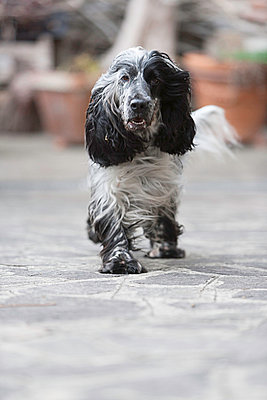 Cocker Spaniel - p1076m831202 by TOBSN