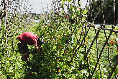 Farmer harvesting runner beans. - p1100m2271476 by Mint Images